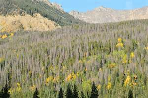 Pine-Beetle-forest