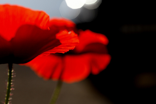 Dancing Poppies by Jenny Downing