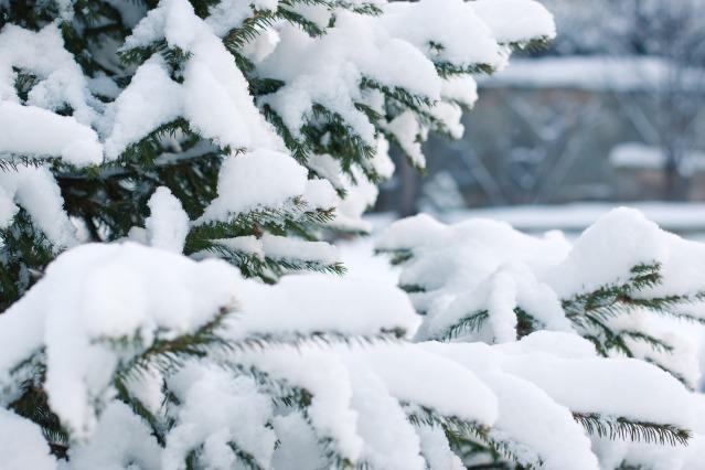 spruce-1848543_1920